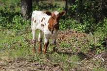 Awesome Jaynie calf